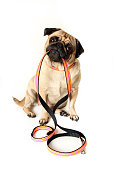 Cute Pug with leash in her mouth, waiting for a walk.