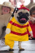 A pug dressed as a fireman walks the runway during the 9th Annual Pug Parade on February 25 2006 in Bradenton Florida 117 pugs competed for 10 prizes...