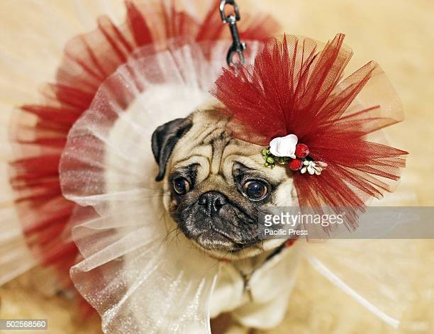 A pug dressed in a costume at the 'Christmas Pug Party' dog paradeduring which the jury chose the most elegant Christmas pug