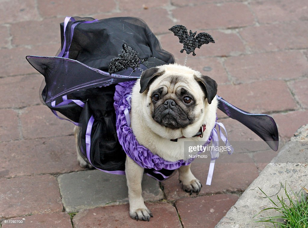 a pug dressed in halloween style costume attend a party of fans of the pug breed - Pugs Halloween