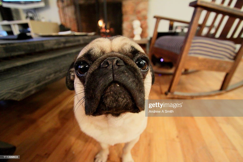 Pug face close up : Stock Photo
