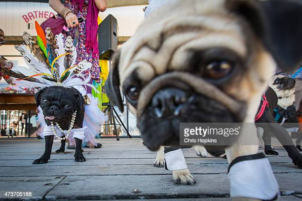 Pug guests enjoying the reception at the wedding of rescued pugs Jasper and Jasmine at the West Beach Bathers Pavilion on May 17 2015 in Melbourne...