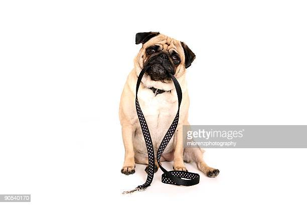 Pug Holding Leash In Her Mouth
