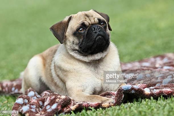 Pug in a picnic