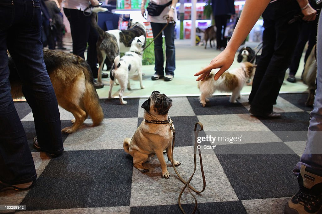A pug is told to remain seated on the first day of Crufts dog show at the NEC on March 7, 2013 in Birmingham, England. The four-day show features over 25,000 dogs, with competitors travelling from 41 countries to take part. Crufts, which was first held in1891, sees thousands of dogs vie for the coveted title of 'Best in Show'.