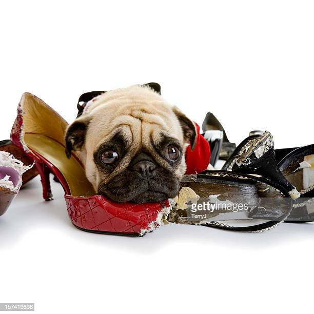 Pug Lying on Collection of Dress Shoes that Are Chewed