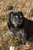 pug mops named adelheid doing winter sun relaxing on a field in south germany park in january