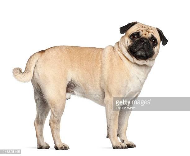 Pug (3 years old)