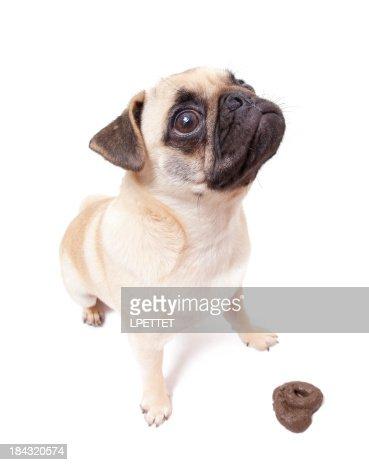 Pug Poo