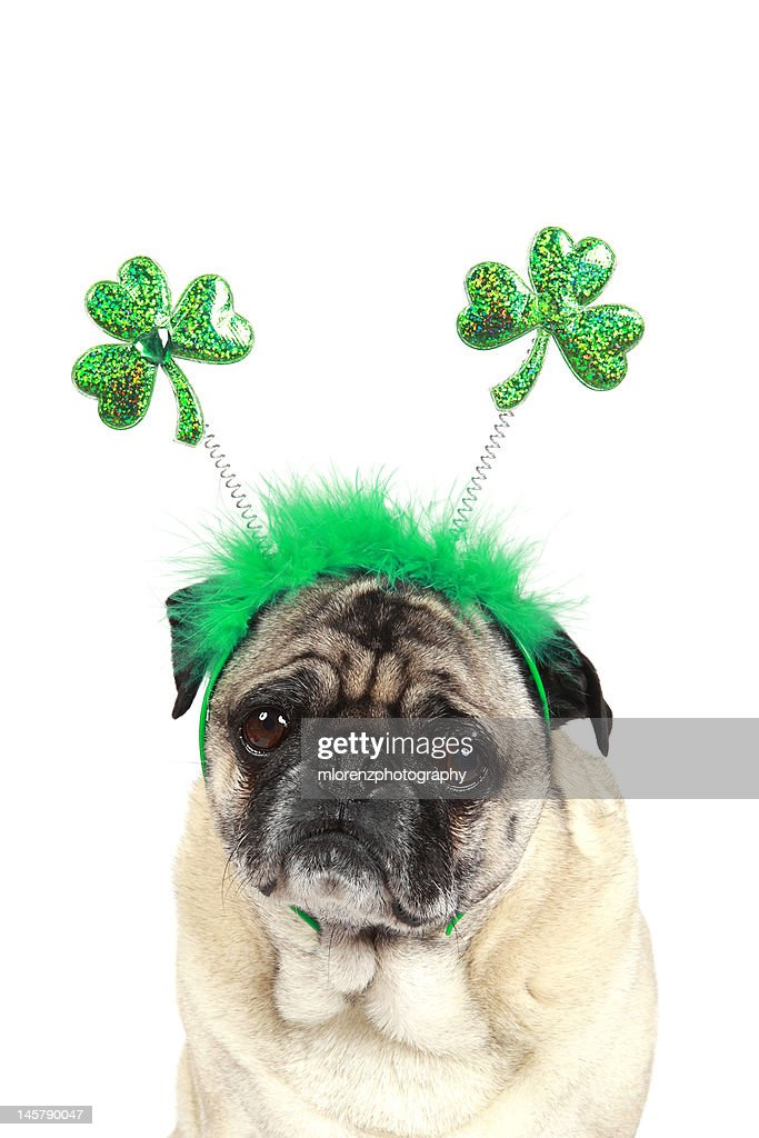 Pug puppies : Stock Photo