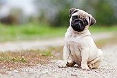 A shot of a 3 months old boy pug puppy.