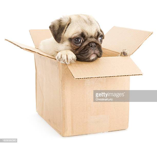 Pug Puppy in Cardboard Box (Moving Time!)