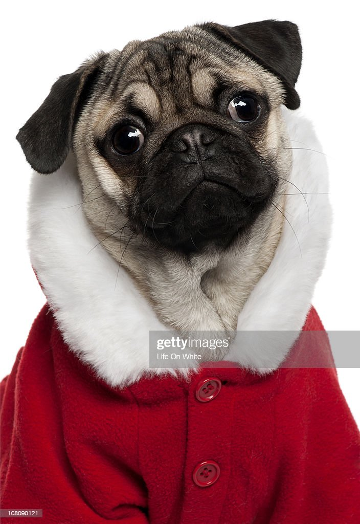 Pug puppy (6 months old) : Stock Photo