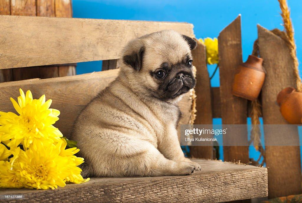 pug puppy : Stock Photo