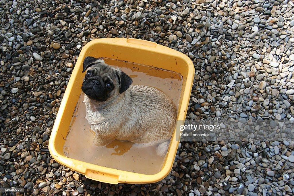 Pug puppy playing : Stock Photo