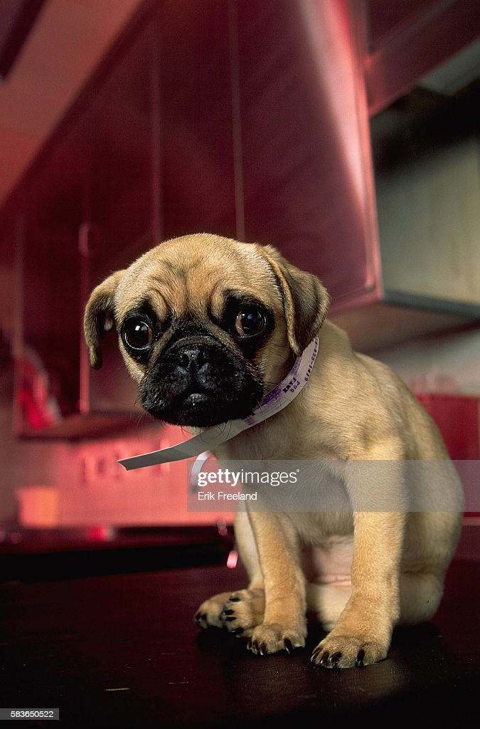 Pug puppy waits to be treated at the Animal Medical Center in NYC.