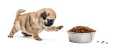 Pug puppy with a bowl of croquette, isolated on white