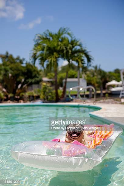 Pug siting on pool float