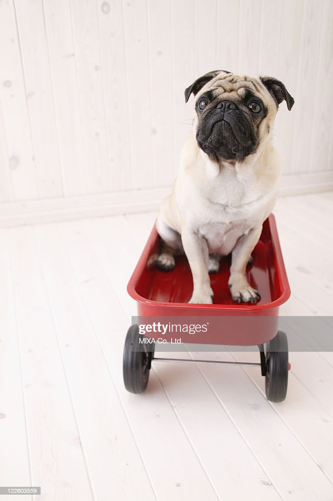 Pug sitting in a cart : Stock Photo