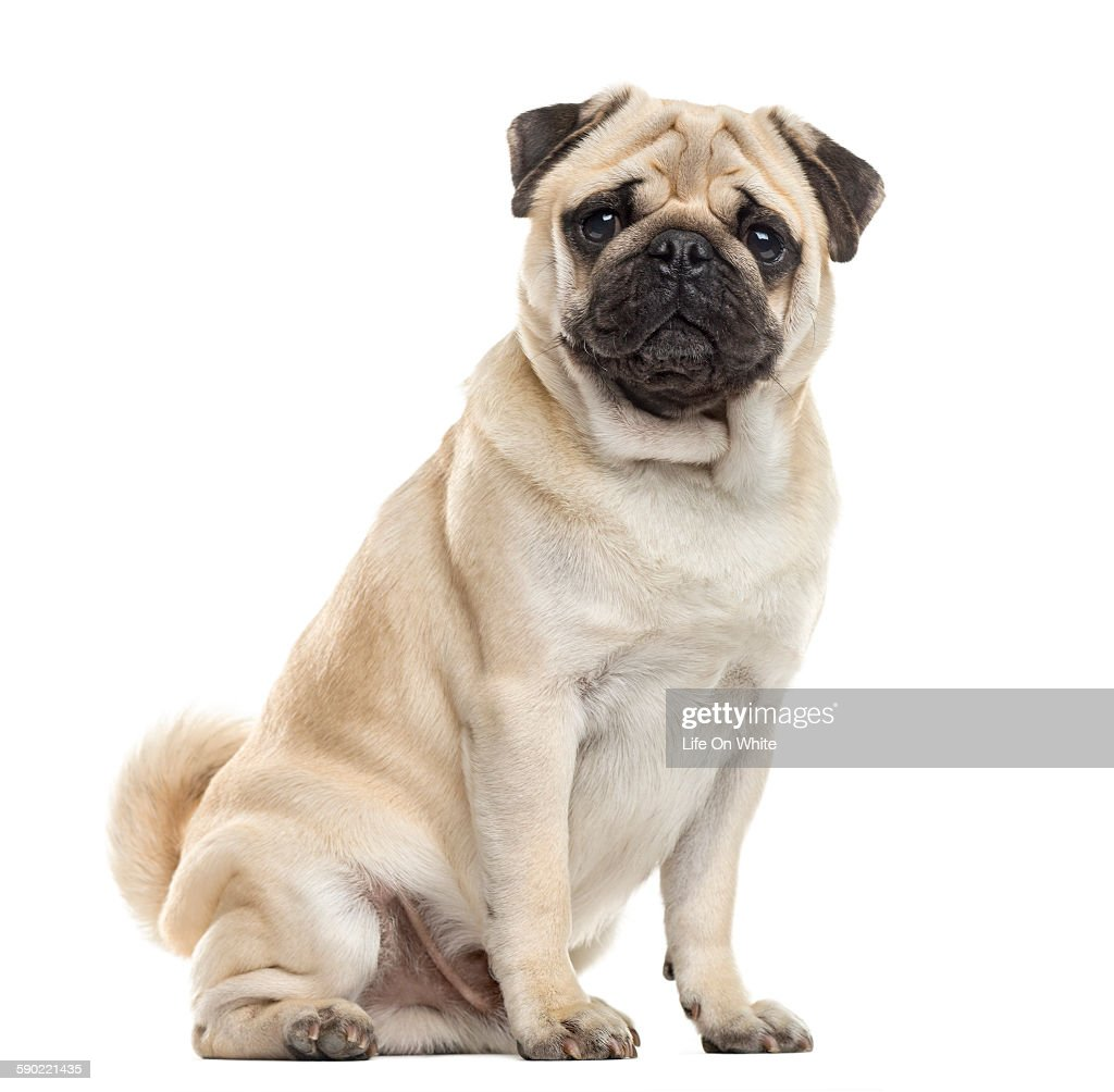Pug sitting in front of a white background