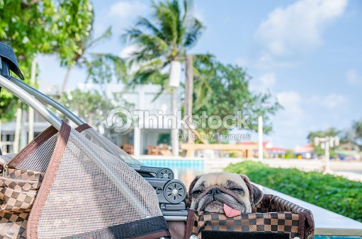Pug Sleep Tired On Car Dog In Cart With Beautiful Background Stock