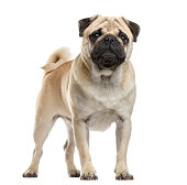 Pug standing in front of a white background