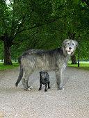 Pug standing under Irish wolfhound in park