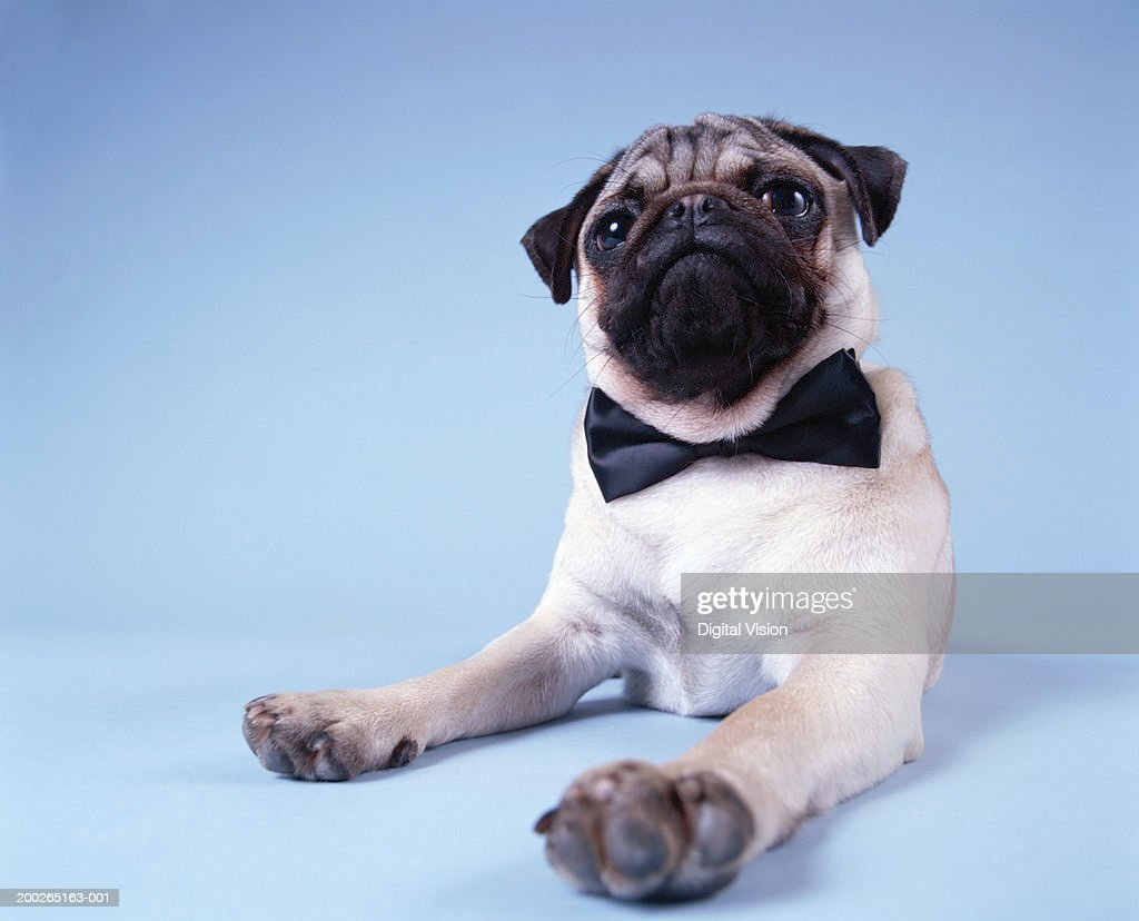 Pug wearing bow tie, close-up : Stock Photo
