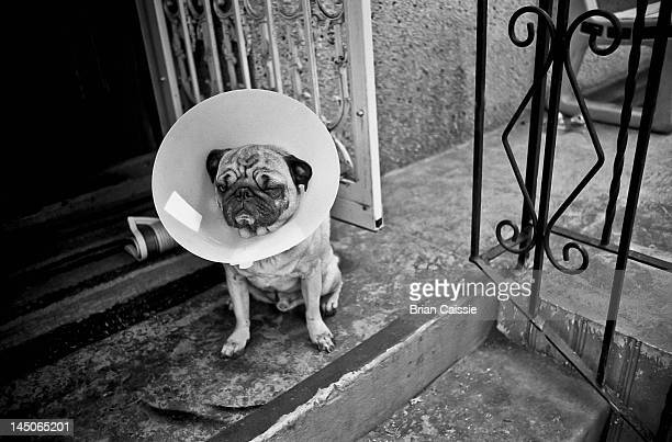 A Pug with a protective cone collar on sitting on front stoop