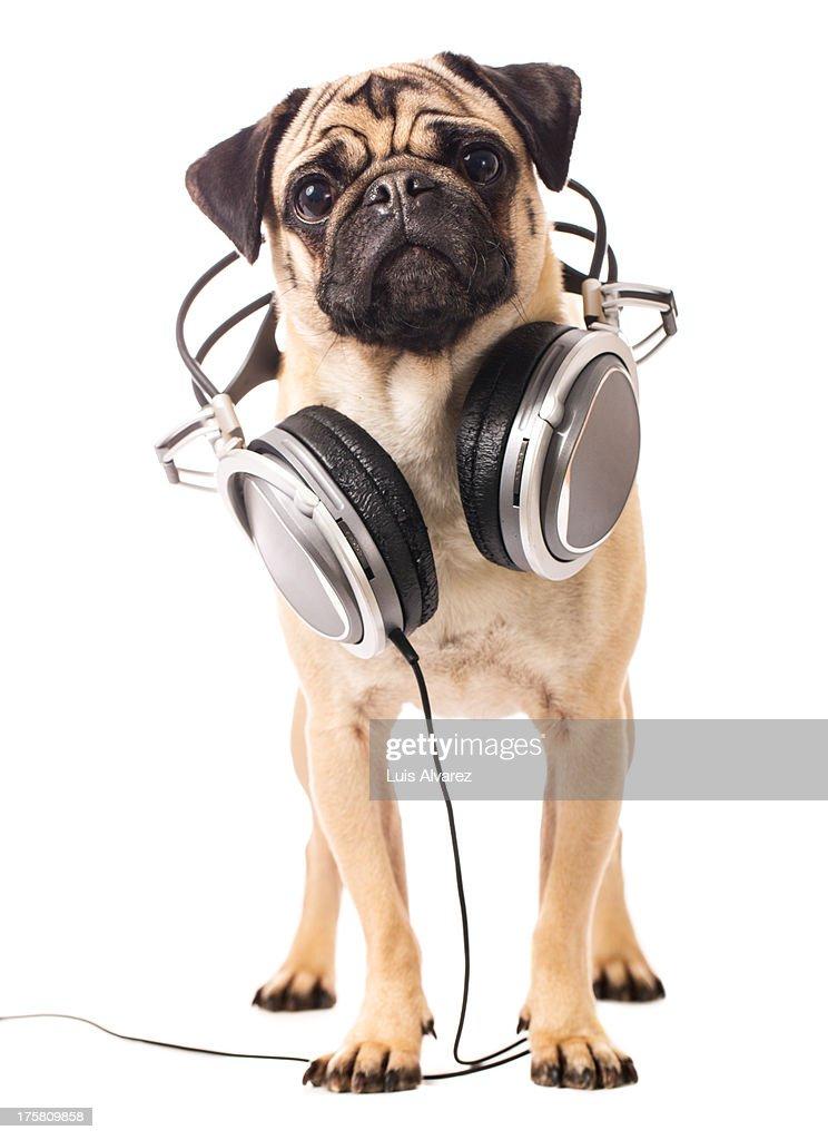 Pug with headphones : Stock Photo