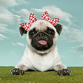 Pug with two red bow
