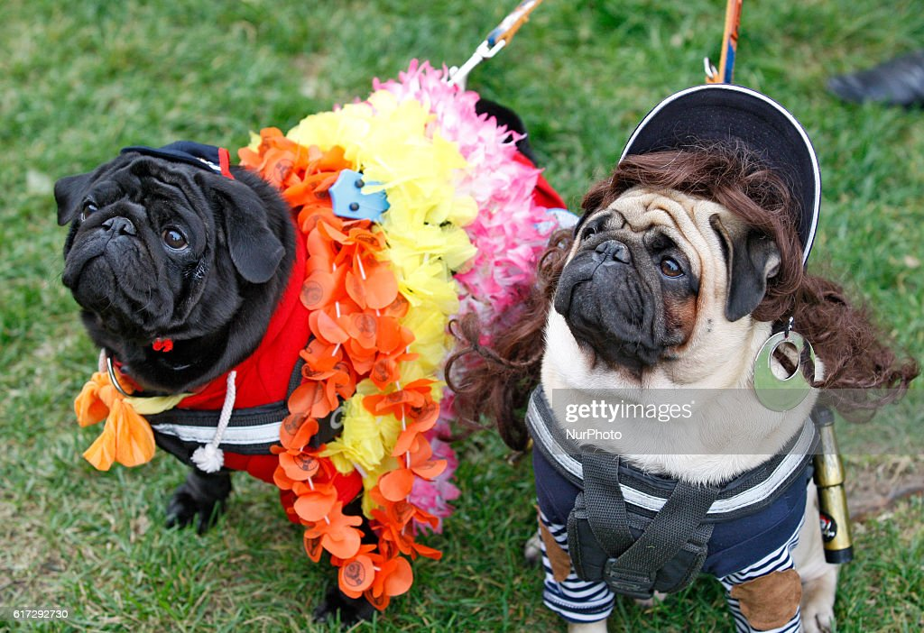 pugs dressed in various halloween style costumes attend a party of fans of the pug breed - Pugs Halloween