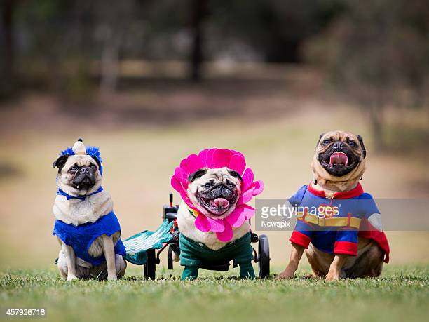 Pugs 'Tootsie' 'Winnie' and 'Basil' dressed up to celebrate PugOWeen at Coopers Reserve Camberwell in Melbourne Victoria as part of the weekly...
