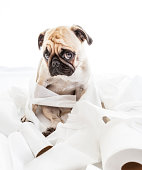 Puk Pukster the Pug looking sheepishly after getting into toilet paper.