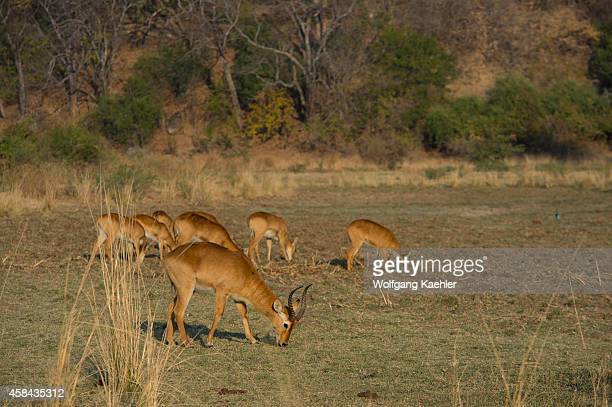 Puku antelopes in South Luangwa National Park in eastern Zambia