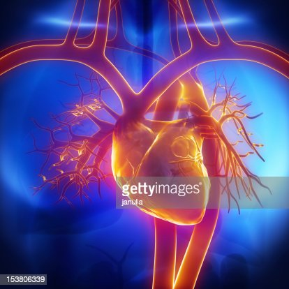 Pulmonary trunk, vein, aorta in heart : Stock Photo