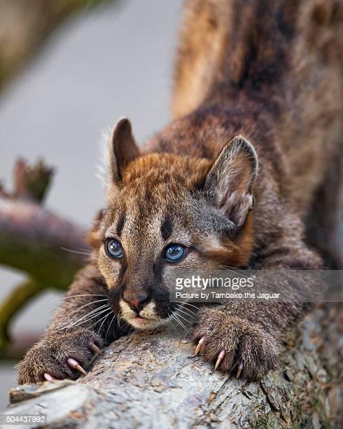Puma baby stretching on trunk