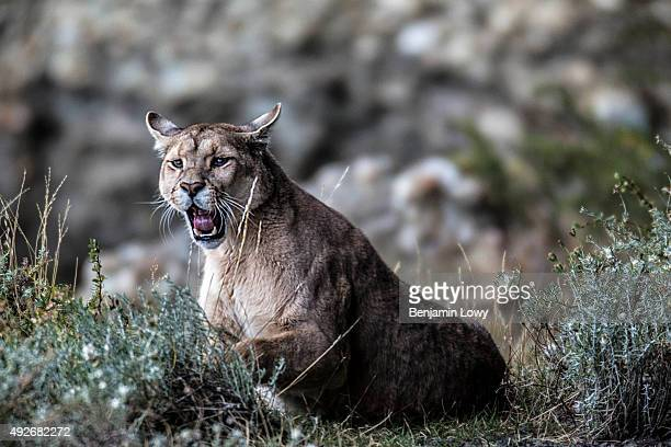 A puma nicknamed 'Mocho' in Chile's Torres del Paine National Park March 10 2015