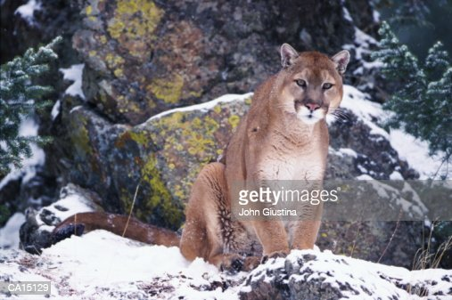Puma (Felis concolor) on snowy rock : Stock Photo