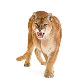 Puma (jusqu'à 17 ans