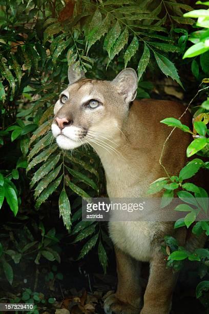 Puma-Puma sentía bien iluminada