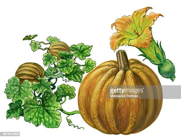 Pumpkin by Giglioli E 20th Century ink and watercolour on paper Whole artwork view Drawing of the plant the flower and the fruit of Pumpkin