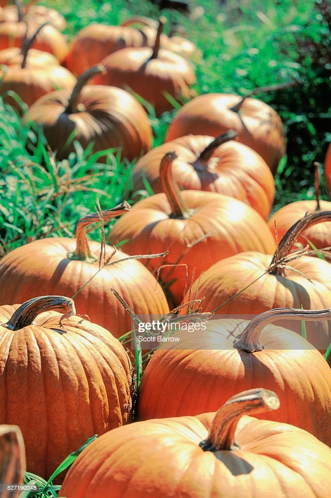 Pumpkin patch : Foto de stock