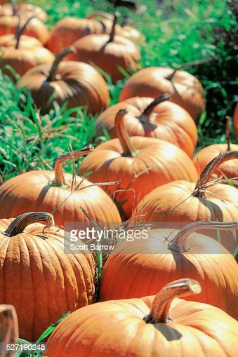 Pumpkin patch : Stock-Foto