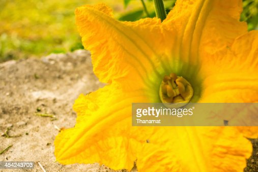 Pumpkin yellow flower : Stock Photo
