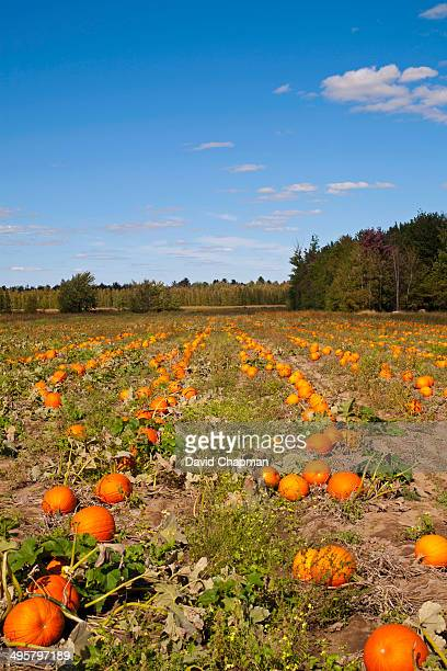Pumpkins in the field at harvest time, Granby, Eastern Townships, Quebec Province, Canada
