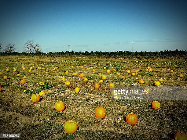 Pumpkins On Field Against Clear Sky