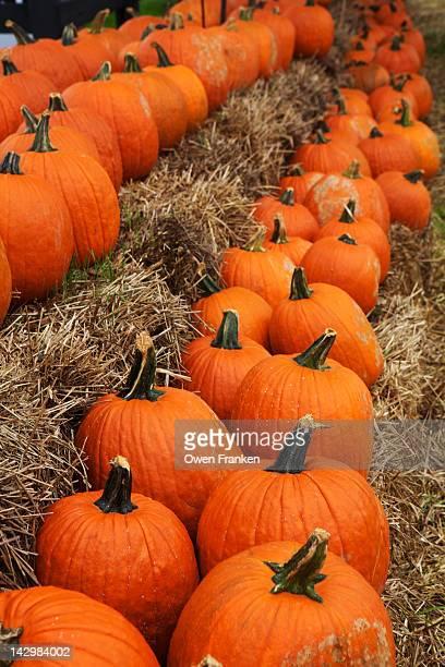 Pumpkins, Virginia, USA
