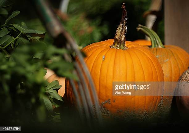 Pumpkins were harvested during the annual fall harvest of the White House Kitchen Garden October 6 2015 at the White House in Washington DC The...