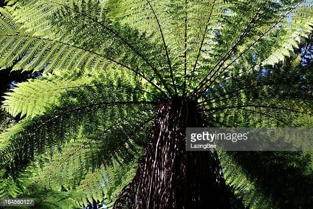 Punga Tree Fern Canopy, New Zealand